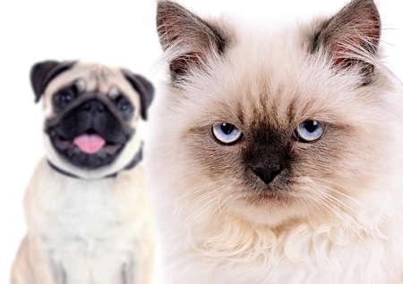Angry chat et chien heureux, isolé sur blanc Banque d'images