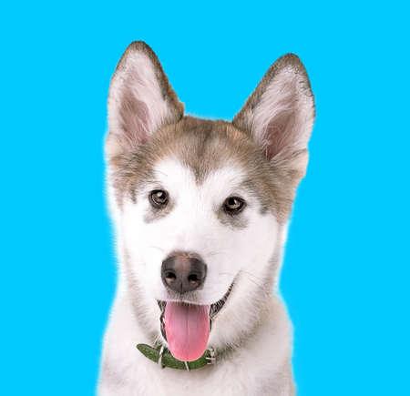 malamute: Portrait of Malamute puppy on blue background