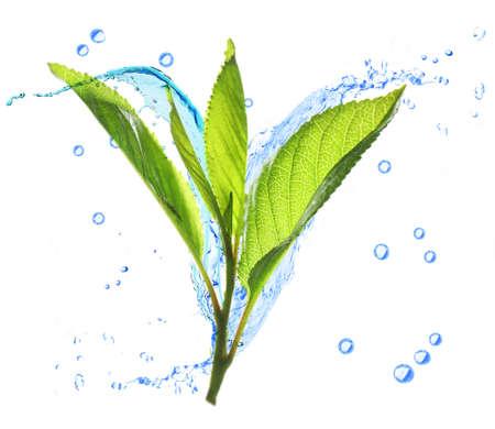 Zweig mit frischen grünen Blättern und Spritzwasser, isoliert auf weiß Standard-Bild