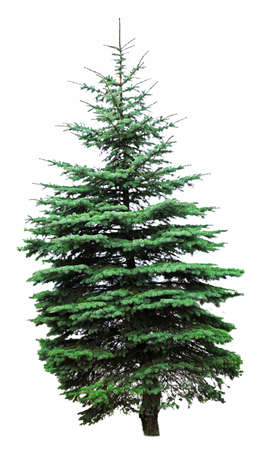 firtree: Fir-tree, isolated on white