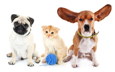 lop eared: Cute cat and dogs, isolated on white