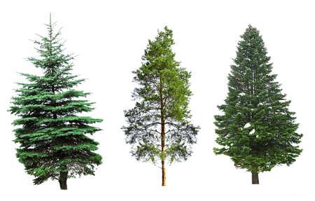Tannenbäume, isoliert auf weiss