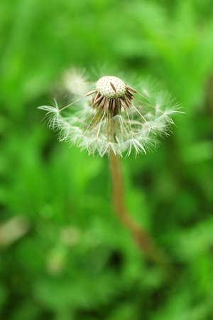 blowing dandelion: Blowing dandelion on natural blurred background