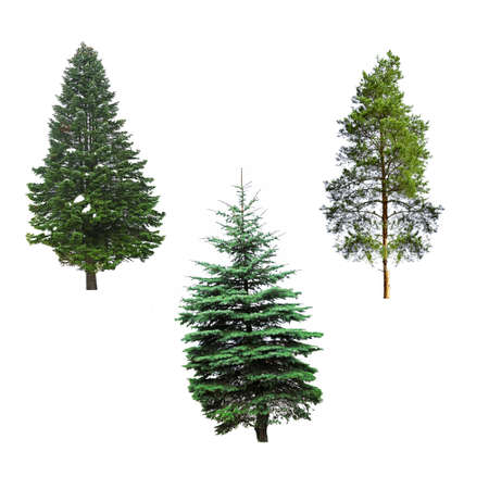 new year of trees: Fir-trees, isolated on white