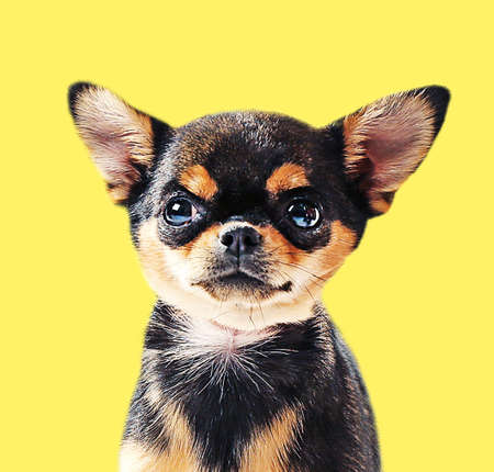 chihuahua puppy: Cute chihuahua puppy on yellow background Stock Photo