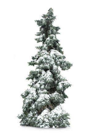 firtree: Fir-tree with snow, isolated on white Stock Photo