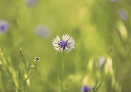 cornflower: Beautiful cornflower, outdoors Stock Photo