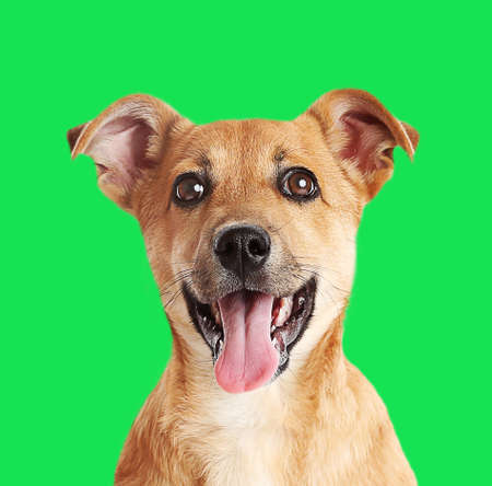 bright colors: Little cute puppy on green background