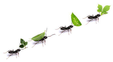 Small ants carrying green leaves, isolated on white. Banque d'images