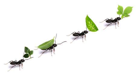 Malé mravenci nesoucí zelené listy, na bílém. Reklamní fotografie