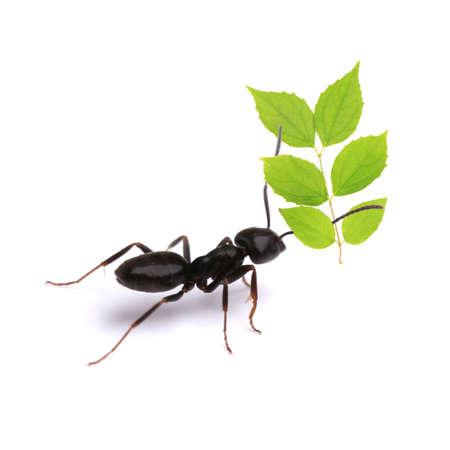 hormiga hoja: Peque�a hoja verde que lleva hormiga, aislado en blanco.