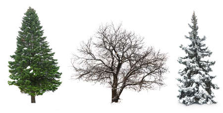 abetos: Conjunto de árboles de invierno sin hojas, aislado en blanco