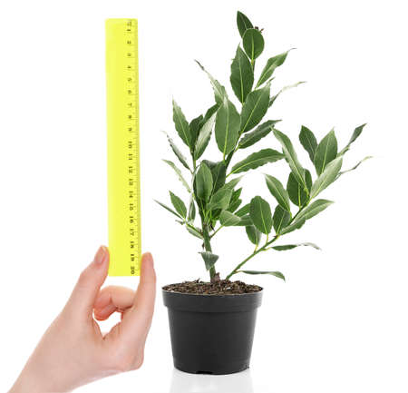 crecimiento planta: Fresh tree with bay leaves in flowerpot and hand with ruler isolated on white Foto de archivo