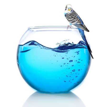 water bird: Fish bowl with water and little blue parrot on it isolated on white Stock Photo