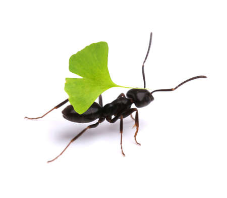carrying: Small ant carrying green leaf, isolated on white.