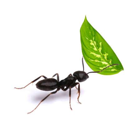 hormiga hoja: Pequeña hoja verde que lleva hormiga, aislado en blanco.