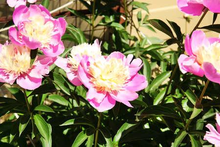 pfingstrosen: Sch�ne Pfingstrosen in Blumenbeet Lizenzfreie Bilder