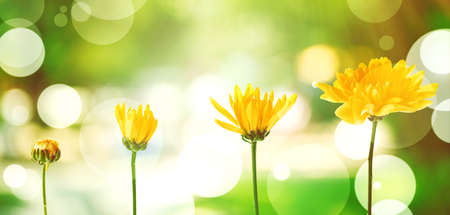 Yellow flowers on blurred green nature background, stages of growth concept Stock Photo