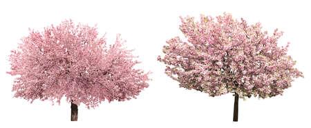 Florecimiento de árboles sacura rosa aislado en blanco