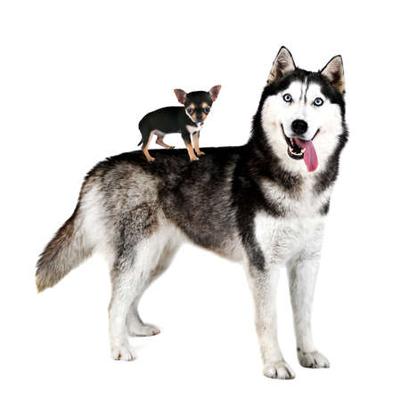 huskys: Chihuahua puppy standing on huskys back, isolated on white