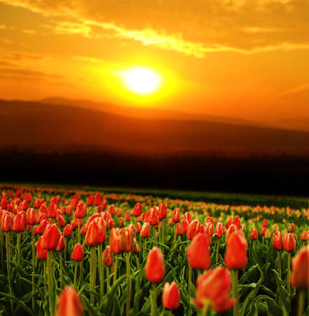 flourished: Field of awesome blooming tulips at sunset