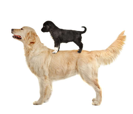 cynology: Golden retriever riding small puppy on back, isolated on white Stock Photo