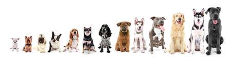 Trece perros sentado en la fila, de pequeño a grande, aislado en blanco Foto de archivo - 65504798