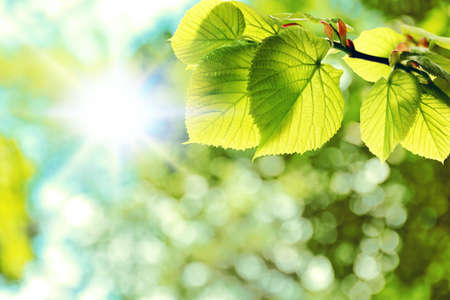 Green leaves on tree and sun. Summer or spring background