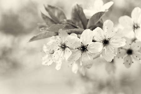 Spring flowers on tree with blurred background, vintage tone Stock Photo