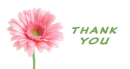 gratefulness: Pink gerbera with text Thank You, isolated on white