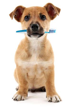 alerta: Cachorro lindo con cepillo de dientes, aislado en blanco Foto de archivo