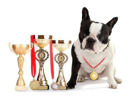 ganado: Bulldog francés lindo con copas de trofeos y medallas aislados en blanco