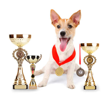 Funny little dog Jack Russell terrier with trophy cups and medals isolated on white