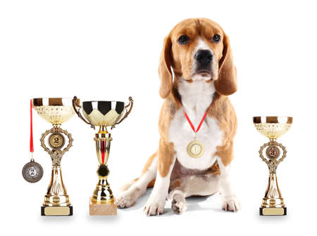 beagle terrier: Beagle dog with trophy cups and medals isolated on white Stock Photo