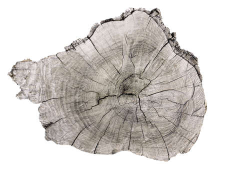 Cross section of tree trunk  isolated on white Standard-Bild