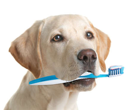 Cute Labrador dog with tooth brush, isolated on white