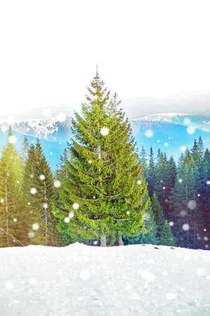 High spruce tree in mountain forest. Beautiful landscape, snowy effect.