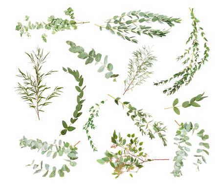 Green eucalyptus branches on white background Standard-Bild