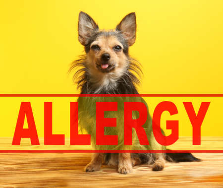 Animal allergy concept. Funny dog on yellow background