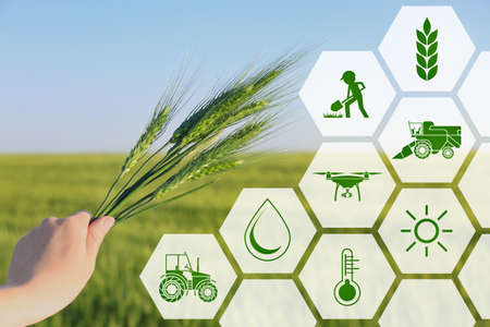 Frau, die Weizenährchen auf dem Gebiet, Nahaufnahme hält. Konzept der intelligenten Landwirtschaft und der modernen Technologie