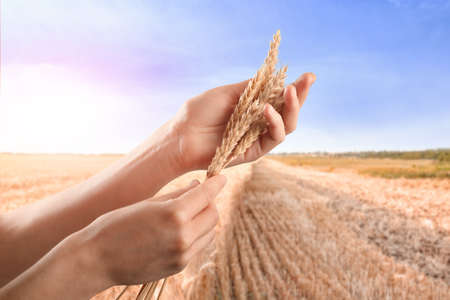 Woman holding spikelets in field
