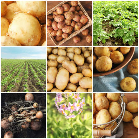 Collage of potatoes and plants