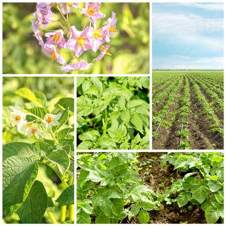 Collage of potato plants Stock Photo