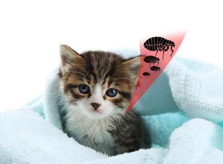Kitten infested with fleas on white background Stock Photo