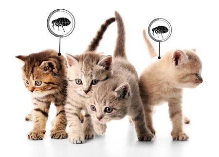 Kittens infested with fleas on white background
