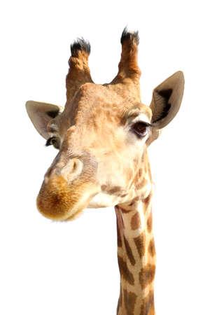 Portrait of cute giraffe on white background