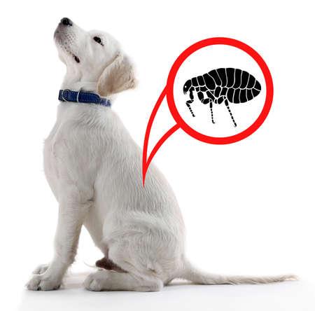 흰색 배경에 벼룩에 감염된 강아지