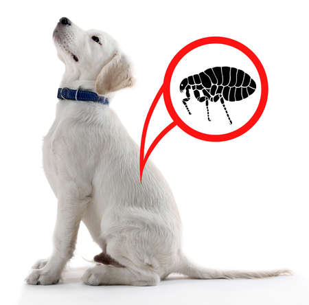 Puppy infested with fleas on white background