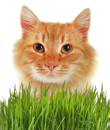 Cute cat and wheat grass on white background
