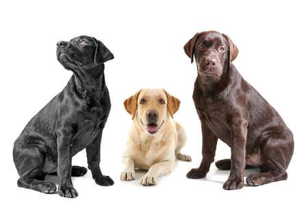 Cute Labrador Retriever dogs on white background
